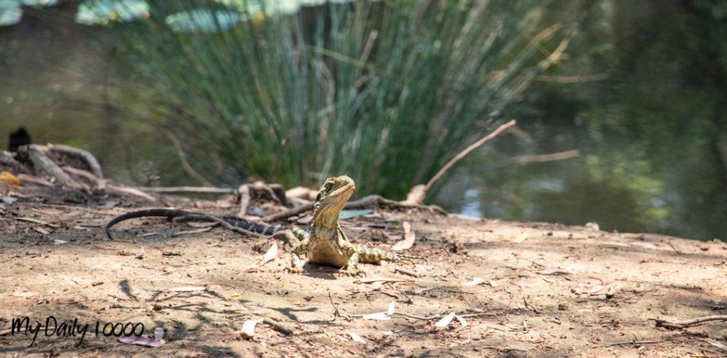 Fellmonger Park Wildlife - Lizard
